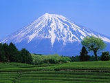 Green Tea Field and Mount Fuji