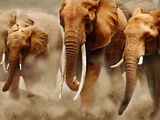 African Elephants Photographic Print