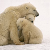 Polar Bear Mother and Cubs Cuddling Photographic Print