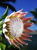 King Protea on Maui