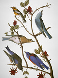 Buy Audubon: Bluebirds at AllPosters.com