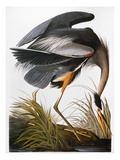 Audubon: Heron