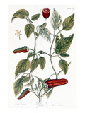 Chili Pepper, 1735
