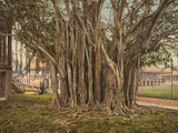 Florida: Rubber Tree, C1900