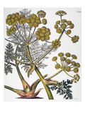 Herbal: Fennel, 1819