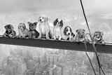 Dogs on Girder