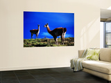 Guanacos Pausing from Grazing Laminated Oversized Art
