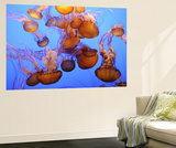 Buy Jellyfish at the Monterey Bay Aquarium at AllPosters.com