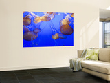 Buy Black Sea Nettle Jellyfish at Monterey Bay Aquarium at AllPosters.com
