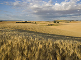 Gield of 6 Row Barley Ripening in the Afternoon Sun, Spokane County, Washington, Usa