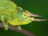 Close-Up of Jackson's Chameleon on Limb, Kenya