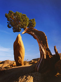 Weathered Juniper Tree Frames Rock Monolith, Joshua Tree National Park, California, Usa