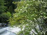 Flowering Dogwood Tree Along the Merced River, Yosemite National Park, California, Usa