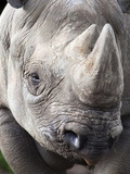 Black Rhino (Diceros Bicornis), Captive, Native to Africa