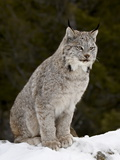Canadian Lynx (Lynx Canadensis) in the Snow, in Captivity, Near Bozeman, Montana, USA