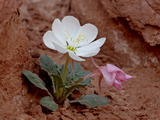 Dwarf Evening-Primrose, Arches National Park, Utah