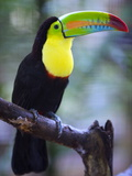 Keel-Billed Toucan (Ramphastos Sulfuratus), Summit Botanical Gardens and Zoo, Panama City, Panama