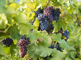 Grapes on Vines, Languedoc Roussillon, France, Europe