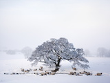 Northumberland Blackface Sheep in Snow, Tarset, Hexham, Northumberland, England, United Kingdom