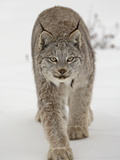 Canadian Lynx (Lynx Canadensis) in Snow in Captivity, Near Bozeman, Montana