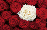 Bed of Roses (Red & White) Art Poster Print