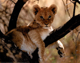 Lion Cub Art Print Poster