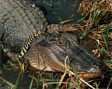 Tom &amp; Pat Lesson (American Alligator &amp; Baby) Art Poster Print