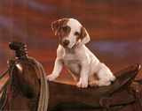 Jack Russell Terrier (Puppy on Saddle) Art Poster Print
