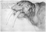 Albrecht Durer (Head of a walrus)