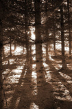 Buy Trees (In Sunlight) Art Poster Print at AllPosters.com