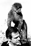 Robert Culp and Baby Baboon 1968 Archival Photo Poster