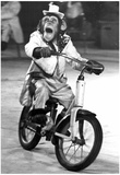 Monkey Riding a Bicycle Archival Photo Poster