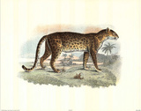 Wild Leopard (Safari)
