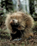 Porcupine (Sitting Up)
