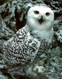 Snow Owl (Wildlife)
