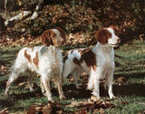 Brittany Spaniels (Animals)