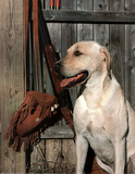 Yellow Labrador (Hunting)