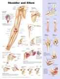 Buy Shoulder and Elbow Anatomical Chart Poster Print at AllPosters.com