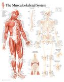 Buy Musculoskeletal System Educational Chart Poster at AllPosters.com