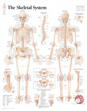Buy Laminated The Skeletal System Chart Poster at AllPosters.com