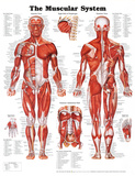 Buy The Muscular System Anatomical Chart Poster Print at AllPosters.com