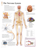 Buy The Nervous System Educational Chart Poster at AllPosters.com