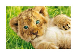 Lion Cub in Grass Art Print Poster