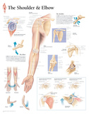 Buy Understanding the Shoulder and Elbow Educational Chart Poster at AllPosters.com