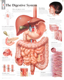 Buy Laminated Digestive System Educational Chart Poster at AllPosters.com