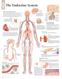 Buy The Endocrine System Educational Chart Poster at AllPosters.com