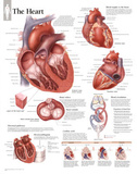 Buy The Heart Educational Chart Poster at AllPosters.com
