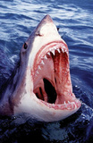 Great White Shark Art Photo Poster Print