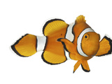 Buy Acidified Water Impairs Clownfish Sense of Smell at AllPosters.com