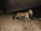 A Bobcat Crosses a Rio Grande Border Wall to Catch a Rat